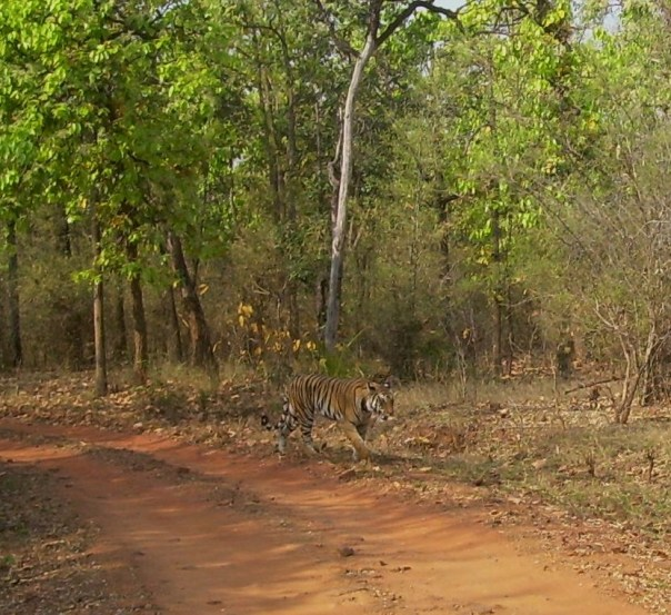 The tigress changed course and moved to the other side of the road